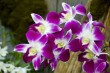 Purple Orchid.jpg