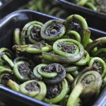 Fiddlehead_ferns,_Portland_Oregon
